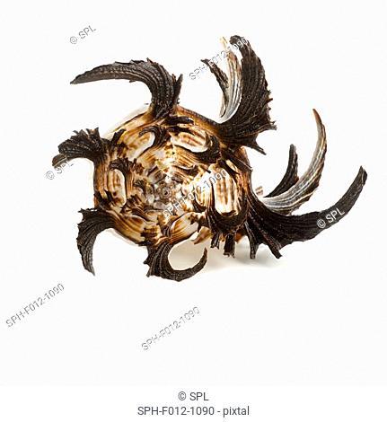 Longspine sea snail shell