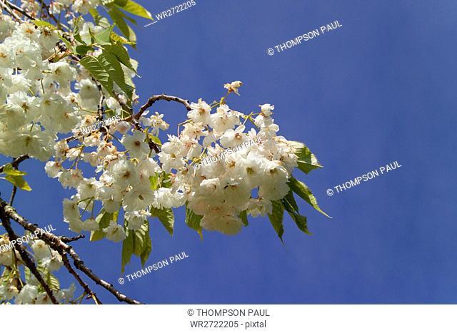 90900202, Blossom, white, tree, trees, blue, sky
