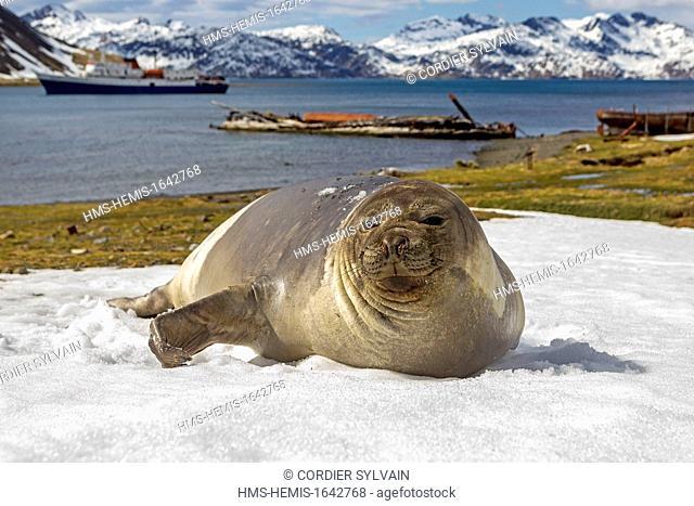 Antarctic, South Georgia Island, around the Whale station of Grytviken, Southern Elephant Seal (Mirounga leonina), female