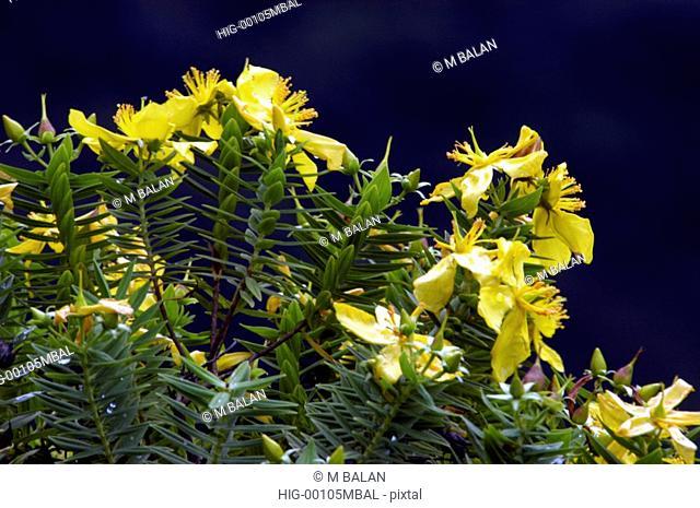 WILD FLOWER IN BLOOM, RAJAMALAI, MUNNAR