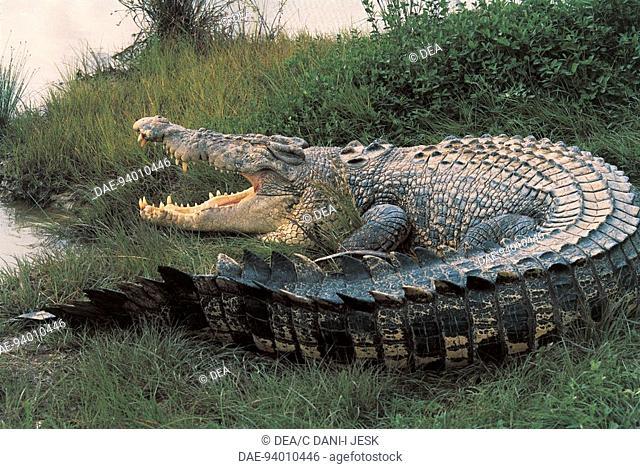 Zoology - Reptiles - Crocodilia. East Indian saltwater crocodile (Crocodylus porosus). Kakadu National Park, Northern Territory, Australia