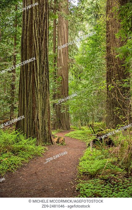 California's amazing redwoods are found along the Avenue of the Giants