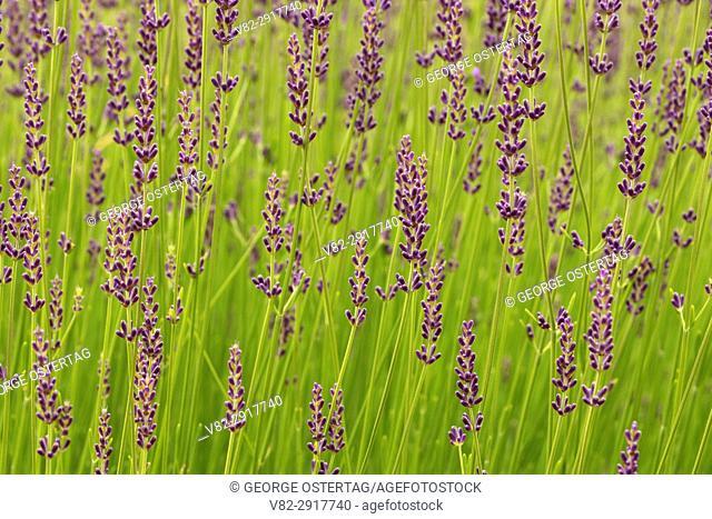 Gros Bleu lavender, Mountainside Lavender, Washington County, Oregon