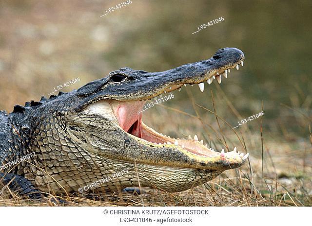 Alligator (Alligator mississippiensis). Florida, USA
