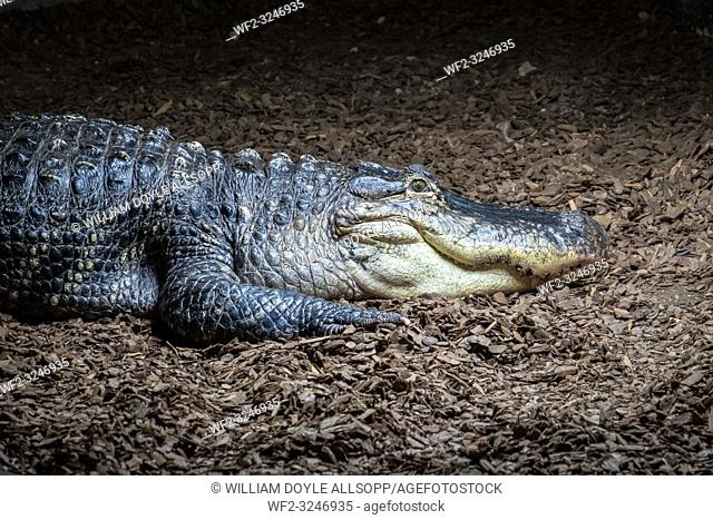 The American Alligator is native to the United States of America and lives in fresh water rivers and swamps