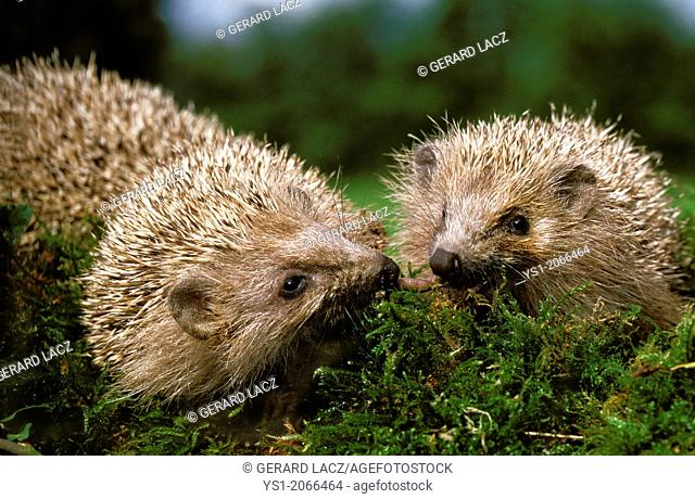 European Hedgehog, erinaceus europaeus, Normandy