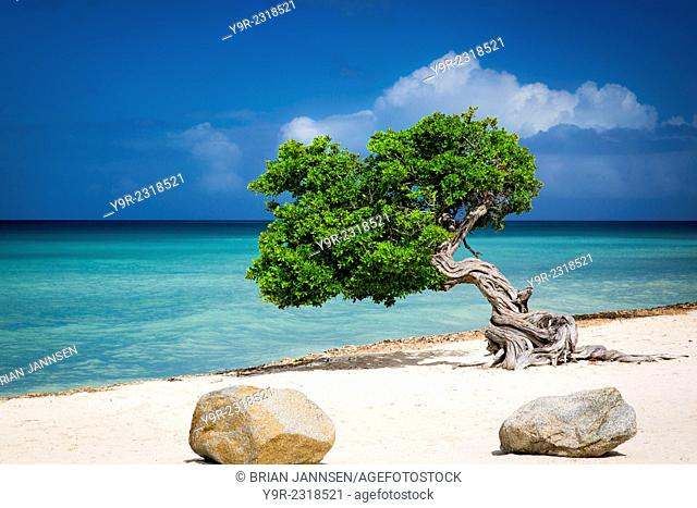 Weathered Fototi tree (often mistaken for Divi Divi) on the beach of Aruba, West Indies