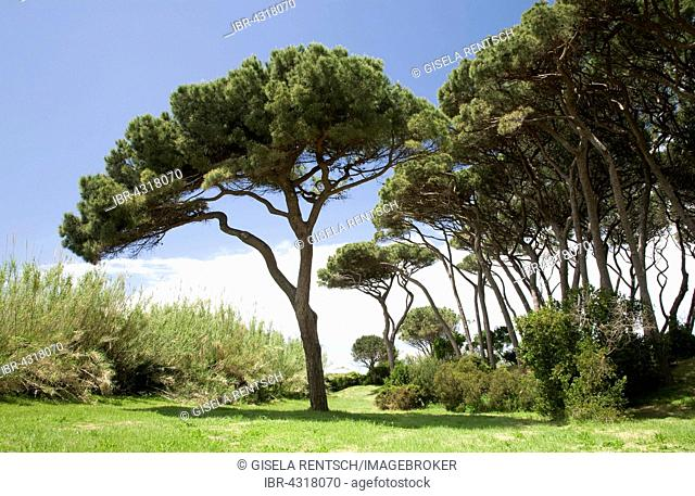 Pine forest, Gulf of Baratti, Tuscany, Italy