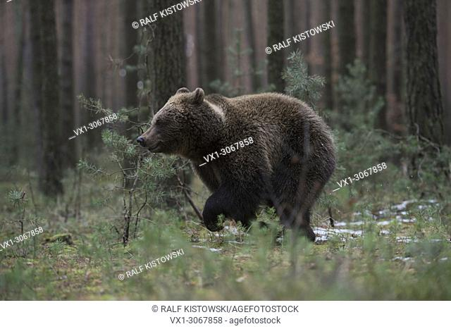 European Brown Bear ( Ursus arctos ), young animal, running fast through the undergrowth of a pine forest, Europe
