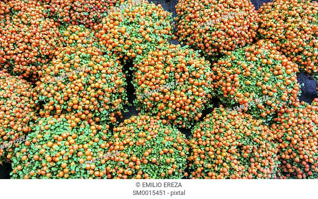 Coral bead plant for sale. Nertera