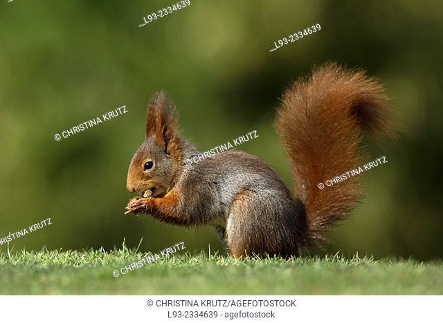 Red Squirrel, Sciurus vulgaris, with hazelnut, Germany