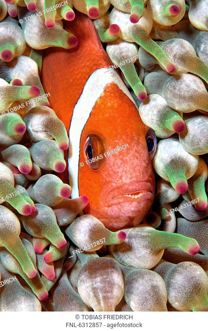 Oman anemonefish Amphiprion omanensis in bubble tip anemone, Mirbat, Oman, Indian Ocean, underwater shot