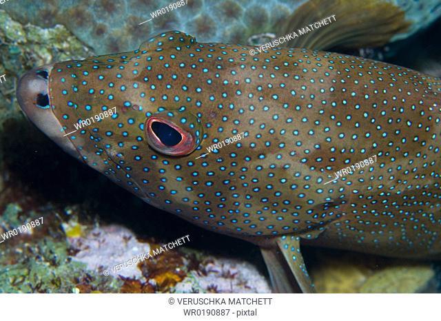 Conney fish Caymans