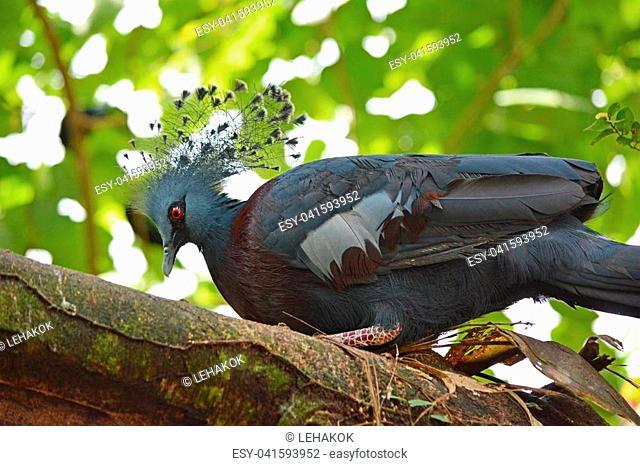 Victoria crowned pigeon ( Goura victoria) bird breeding in nest on the tree