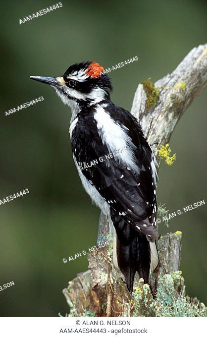 Hairy Woodpecker (Picoides villosus) Montana