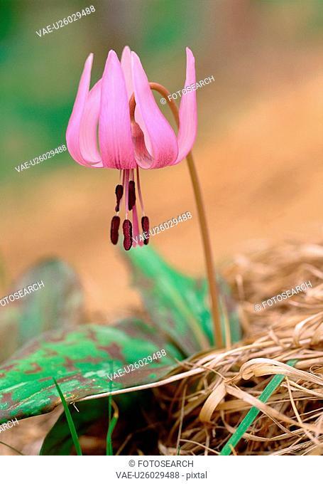 dogtoothviolet, nature, poppy, flower, plant, film