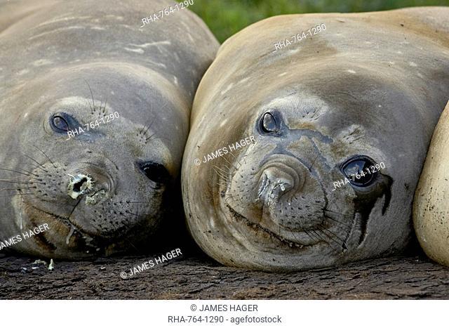 Two female Southern elephant seal Sea elephant Mirounga leonina, Grytviken, South Georgia, Polar Regions