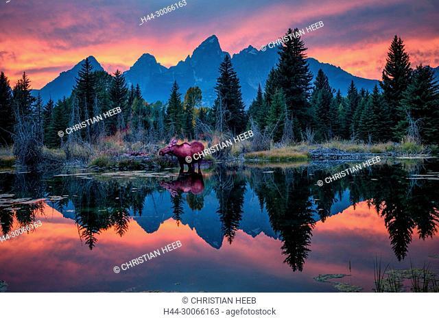 North America, American, USA, Rocky Mountains, West, Grand Teton National Park, Moose along Snake river