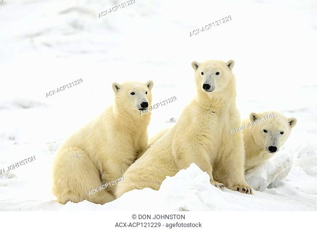 Polar Bear (Ursus maritimus) Mother and yearling cubs resting along the Hudson Bay coast