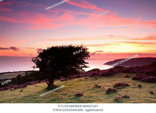 View of coastline at sunrise, with Porlock Bay and pebble ridge just visible in distance, Hurlstone Point, Porlock Hill, Exmoor N P , Somerset, England, august