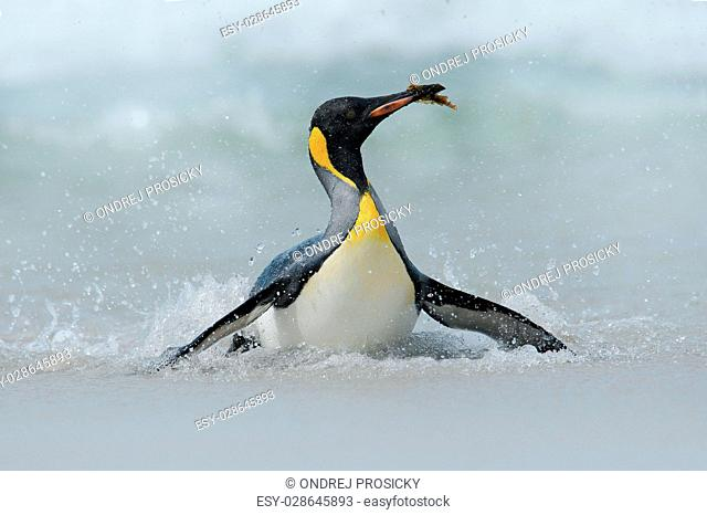 Big King penguin jumps out of the blue water