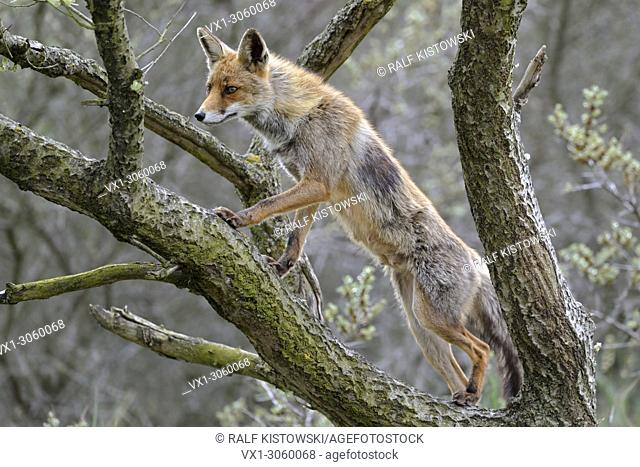 Red Fox ( Vulpes vulpes ), cunning vixen, climbs, stands in a tree to get good overview, for hunting, attentively watching, wildlife, Europe