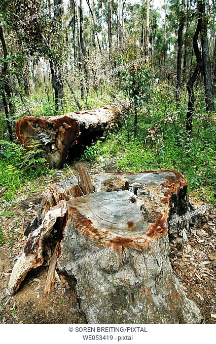 Fallen log of Jarrah, (Eucalyptus marginata), Myrtaceae, Myrtle family. This Jarrah tree is laying in the conserved area around the famous King Jarrah tree at...