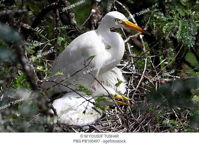 The Cattle Egret Bubulcus ibis locally known as 'go bok' is a small white heron found near water-bodies, cultivated fields, usually near grazing cattle Rajshahi