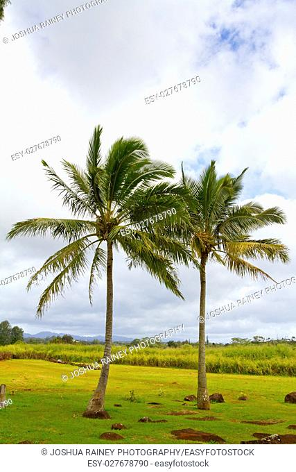 Often times palm trees grow closely together in pairs like this. This image shows the trees in a symbolic way as compared with a couple or two people or two...