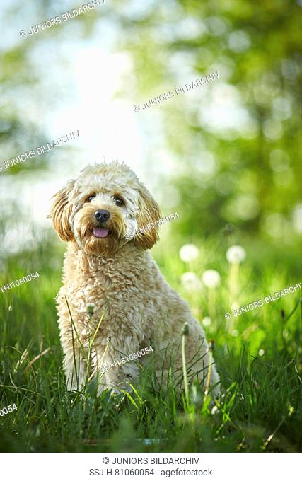 Miniature Labradoodle. Adult standing in grass. Germany