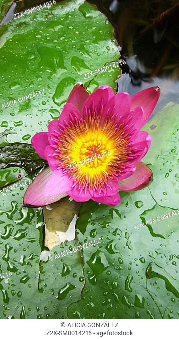 Water lily in aquatic garden