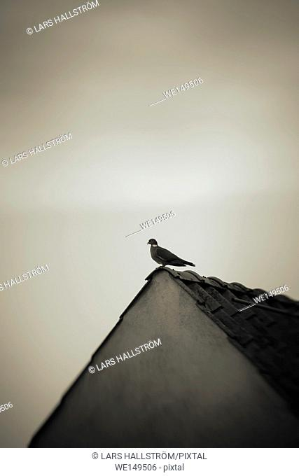 One pigeon sitting on top of old house. Bird on building roof. Concept of freedom, loneliness and simplicity