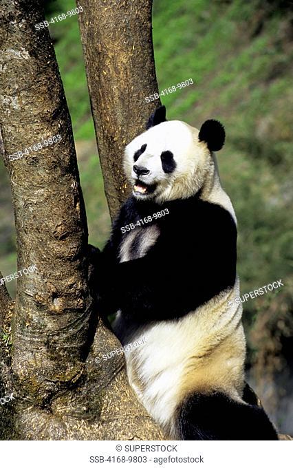 China, Sichuan Province, Wolong Panda Reserve, Giant Panda Ailuropoda Melanoleuca At Tree