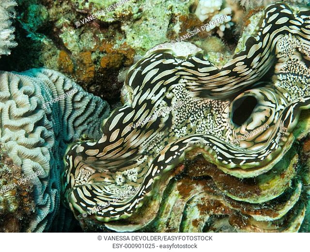V9EG0921  Tridacna gigas or Giant clam  The largest living bivalve mollusc  Location: Red Sea, Egypt