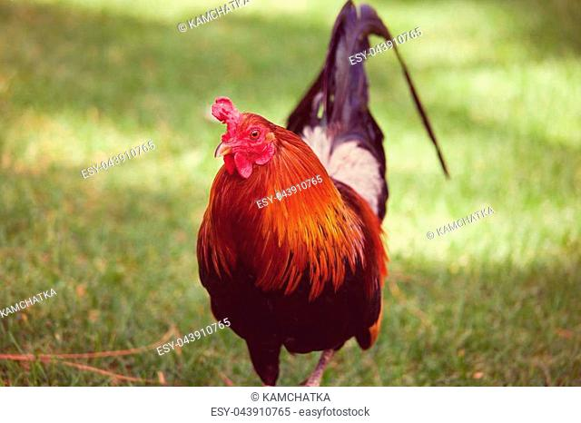 Rooster on Hawaii