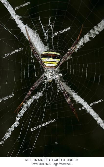 Female St. Andrew's Cross Spider (Araneae Order, Araneidae family, Argiope versicolor) on web with stabilimentum pattern, Klungkung, Bali, Indonesia
