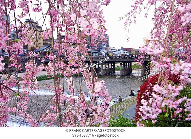 Cherry blossom trees in full bloom beside the Kamogawa river near Sanjo bridge