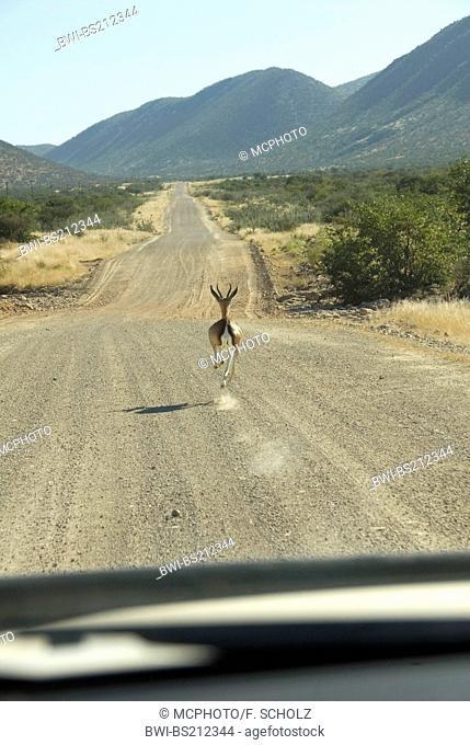 springbuck, springbok (Antidorcas marsupialis), running in front of a car, Namibia