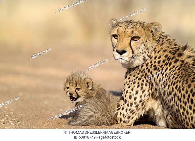 Cheetah (Acinonyx jubatus), female resting with her cub, male, 40 days, captive, Namibia