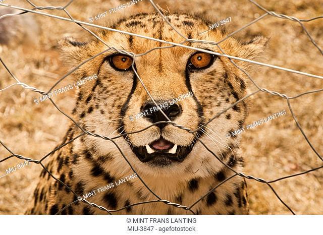 Cheetah, Acinonyx jubatus, in enclosure, Cheetah Conservation Fund, Namibia
