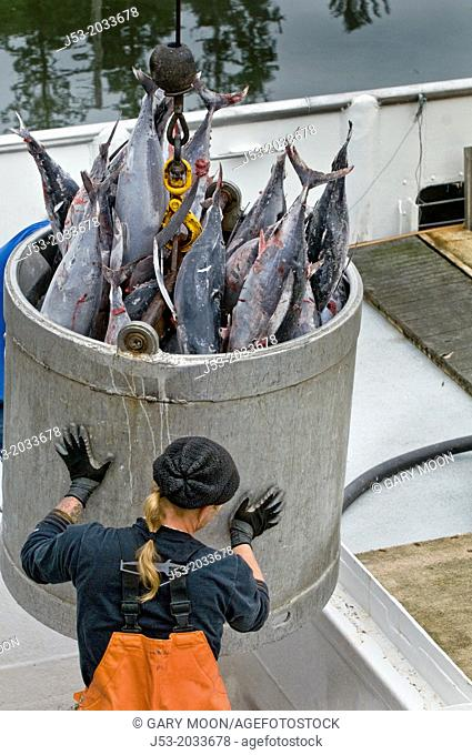 Frozen albacore tuna being hoisted from fish hold in commercial fishing boat to dock of seafood processing plant, Port of Ilwaco, Washington USA
