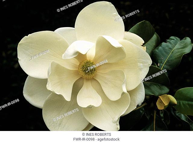 Magnolia grandiflora, Magnolia