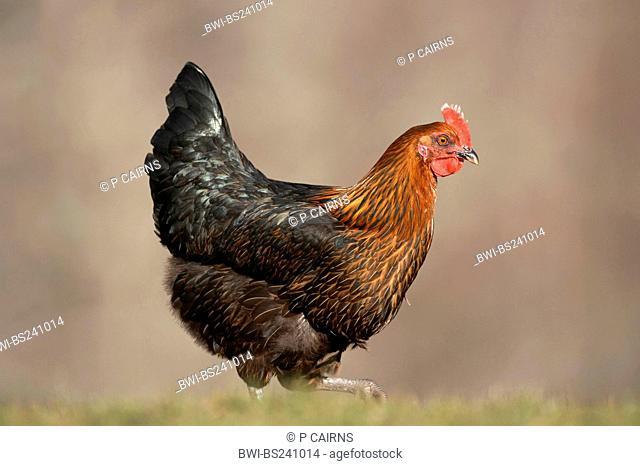 domestic fowl Gallus gallus f. domestica, Black Rock strain roaming free range on Scottish farm, United Kingdom, Scotland