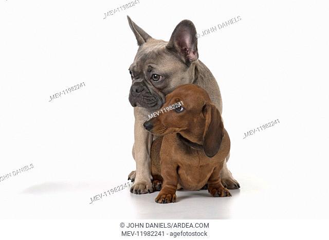 DOG. French Bulldog with Miniature Dachshund