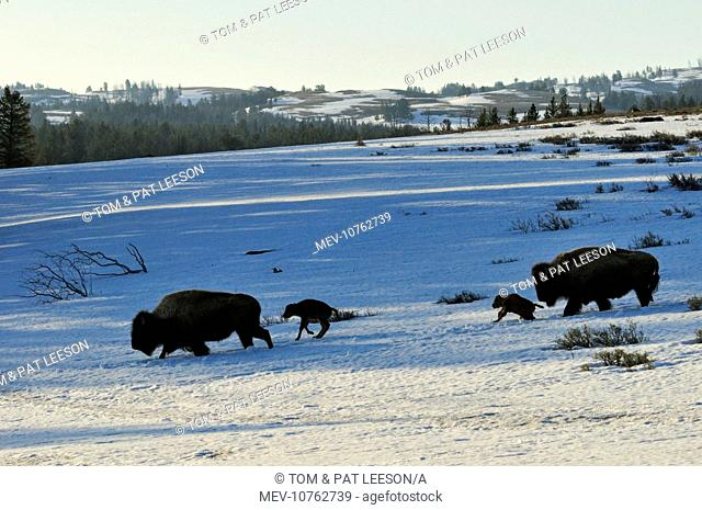 American Bison - cows with very young calves trudge across snow covered grasslands in early spring (Bison bison)