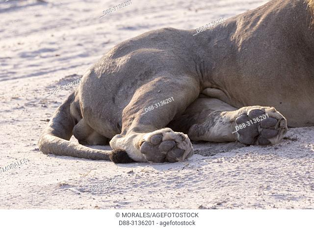 Africa, Southern Africa, Bostwana, Savuti National Park, Lion (Panthera leo), adult male resting in the savannah. Detail of the rear feet