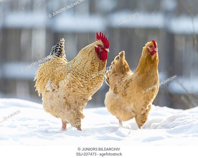 Niederrheiner Chicken. Couple walking in snow. Germany