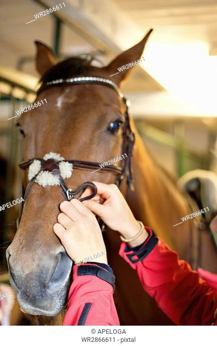 Cropped hands fixing horse's bridle in stable