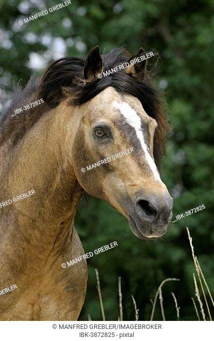 Connemara Pony stallion, Dun, Bavaria, Germany
