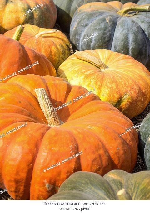 Cinderella pumpkins have a vivid, red-orange, hard exterior and a somewhat flattened shape with deep, characteristic lobes